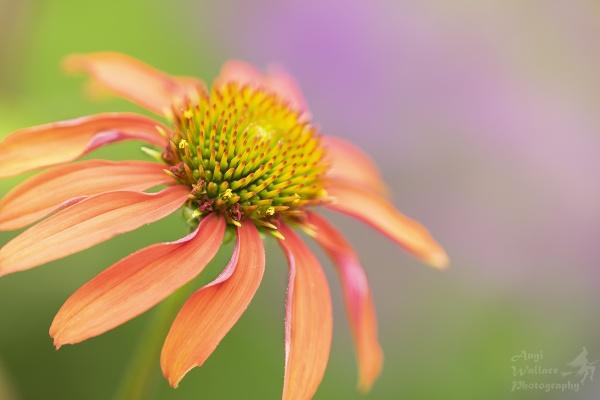 Echinacea Cheyenne spirit by Angi_Wallace