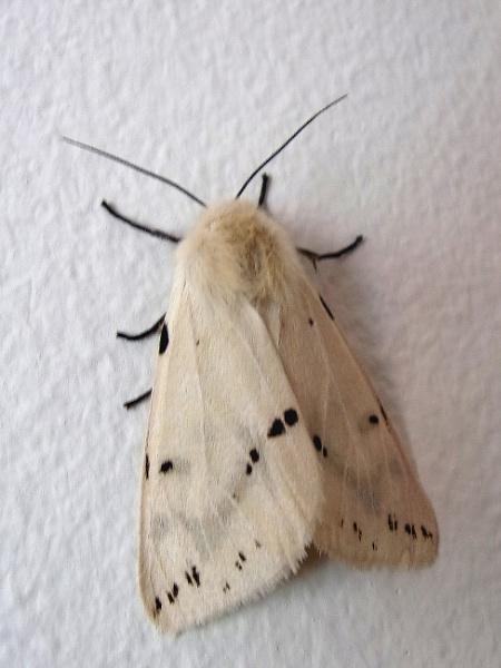 Buff Ermine Moth by TonyDy