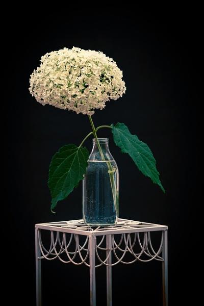 Hydrangea Annabelle by JackAllTog