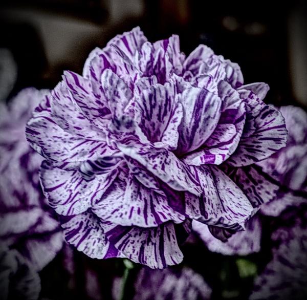 Carnation by nclark