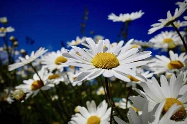 Daisy by nclark