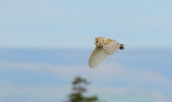 Barn Owl Hunting by Len1950