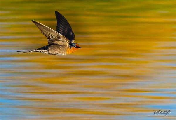 Swallow in flight (0008-2) by paulknight