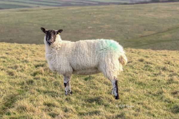 Ewes by kaz1
