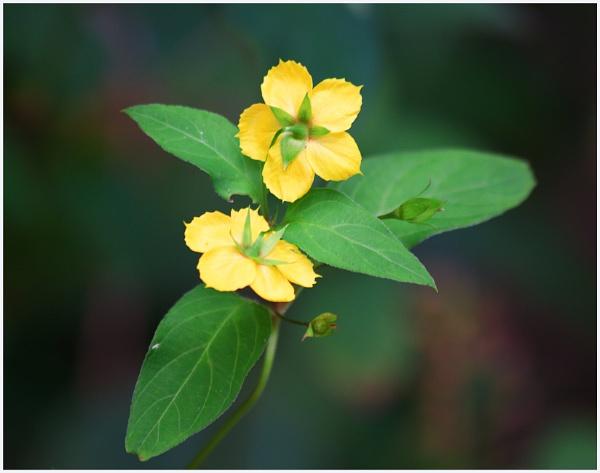 Yellow Wildflower by gconant