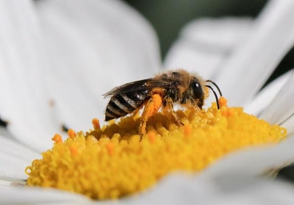 Pollen feast by beckybookins