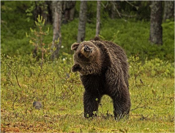 Brown bear shaking by hibbz