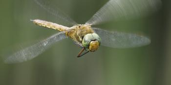 Norfolk Hawker Caught in Flight