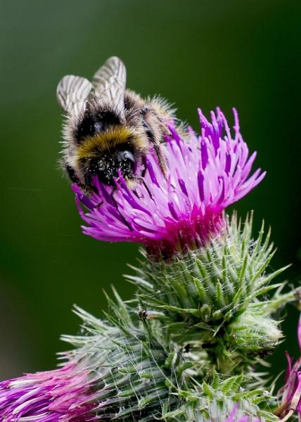 Busy Bee by pauljt