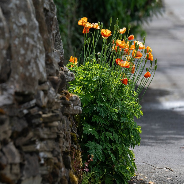 Poppies On A Dyke by kaybee