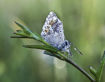 Butterfly with morning dew V3