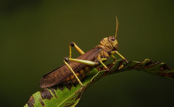 Giant Grasshopper by Steveo28