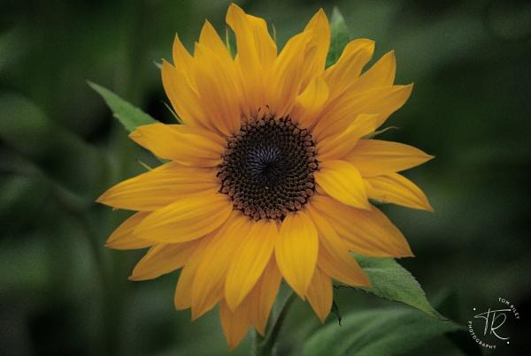 Sunflower Season by tomriley