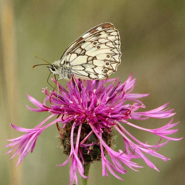 Butterflies. by bobpaige1