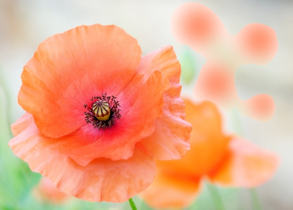 """Gentle Poppy\"" by adrianedwa"