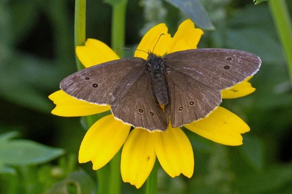 Ringlet Butterfly in Meadow by Janetdinah