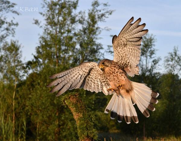 Wild Kestrel , wide angle by KBan
