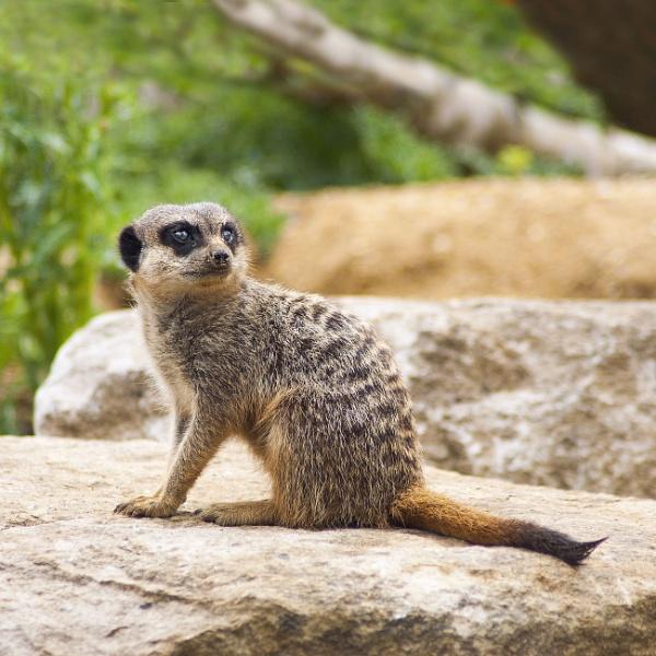 Meerkat at Marwell Zoo by Tildarang
