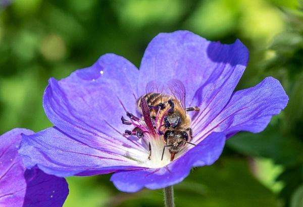 Honey bee on geranium by lagomorphhunter