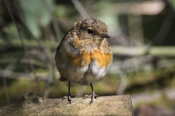 Juvenile Robin by PGibbings