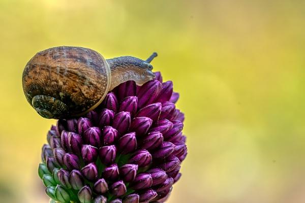 Garden Snail on an budding Allium by royd63uk