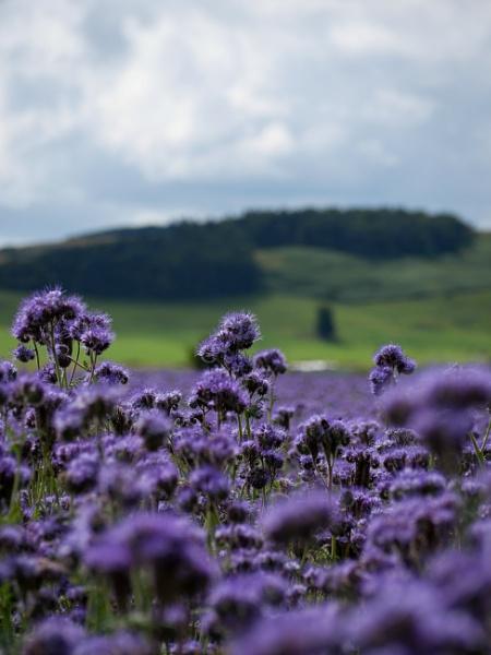 Sea of Purple by CReid5