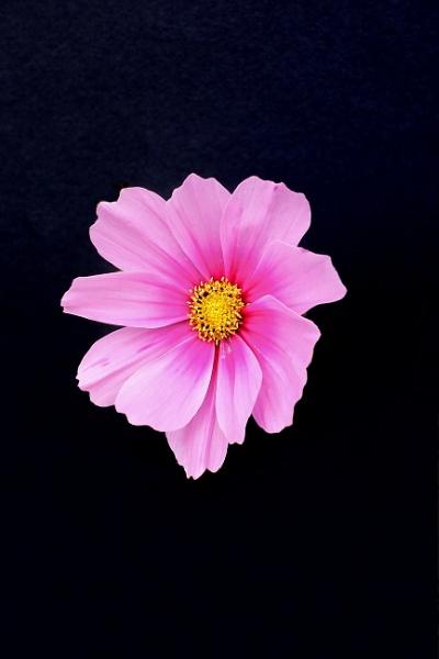 Cosmos flower by DaveThornton
