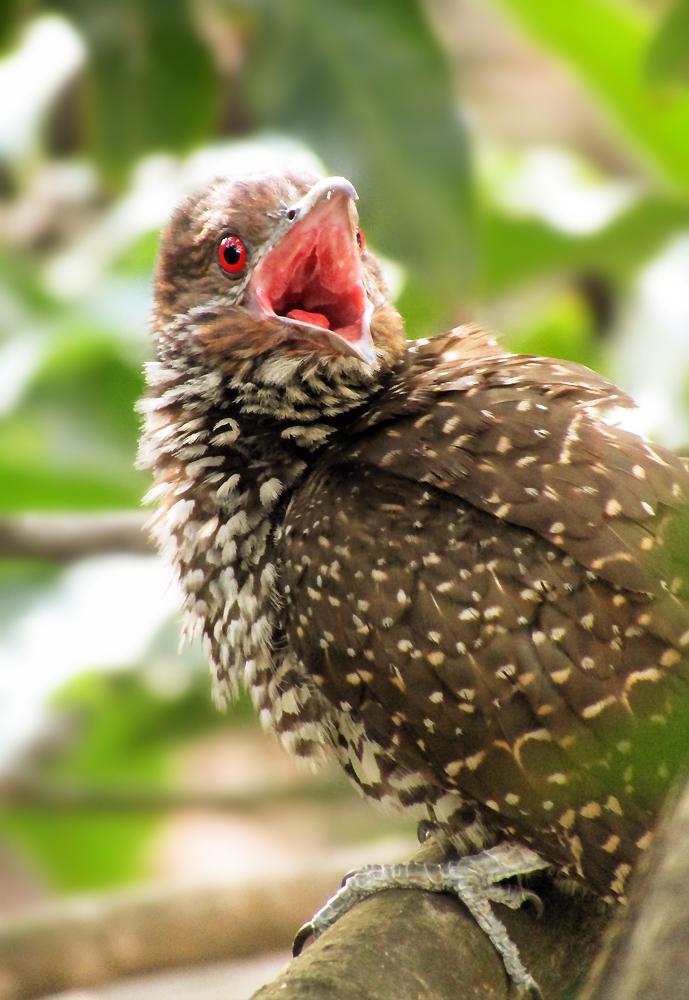 Angry Asian Koel