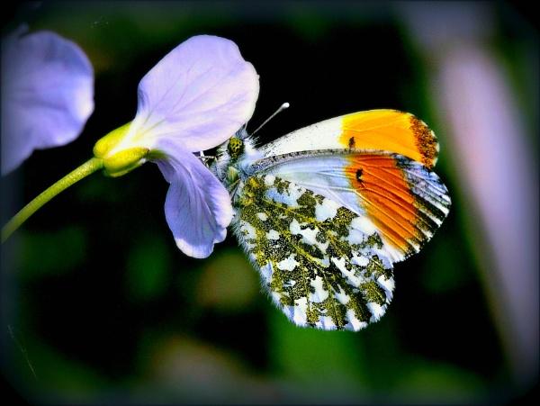 The tiny Orange Tip on a wild flower. by niknakpaddywhack
