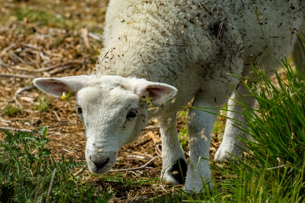 Lamb by terra