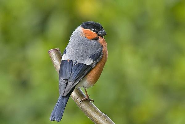 Bullfinch (male) by johnsd