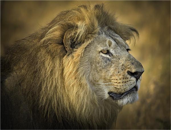 Male Lion by JeanE
