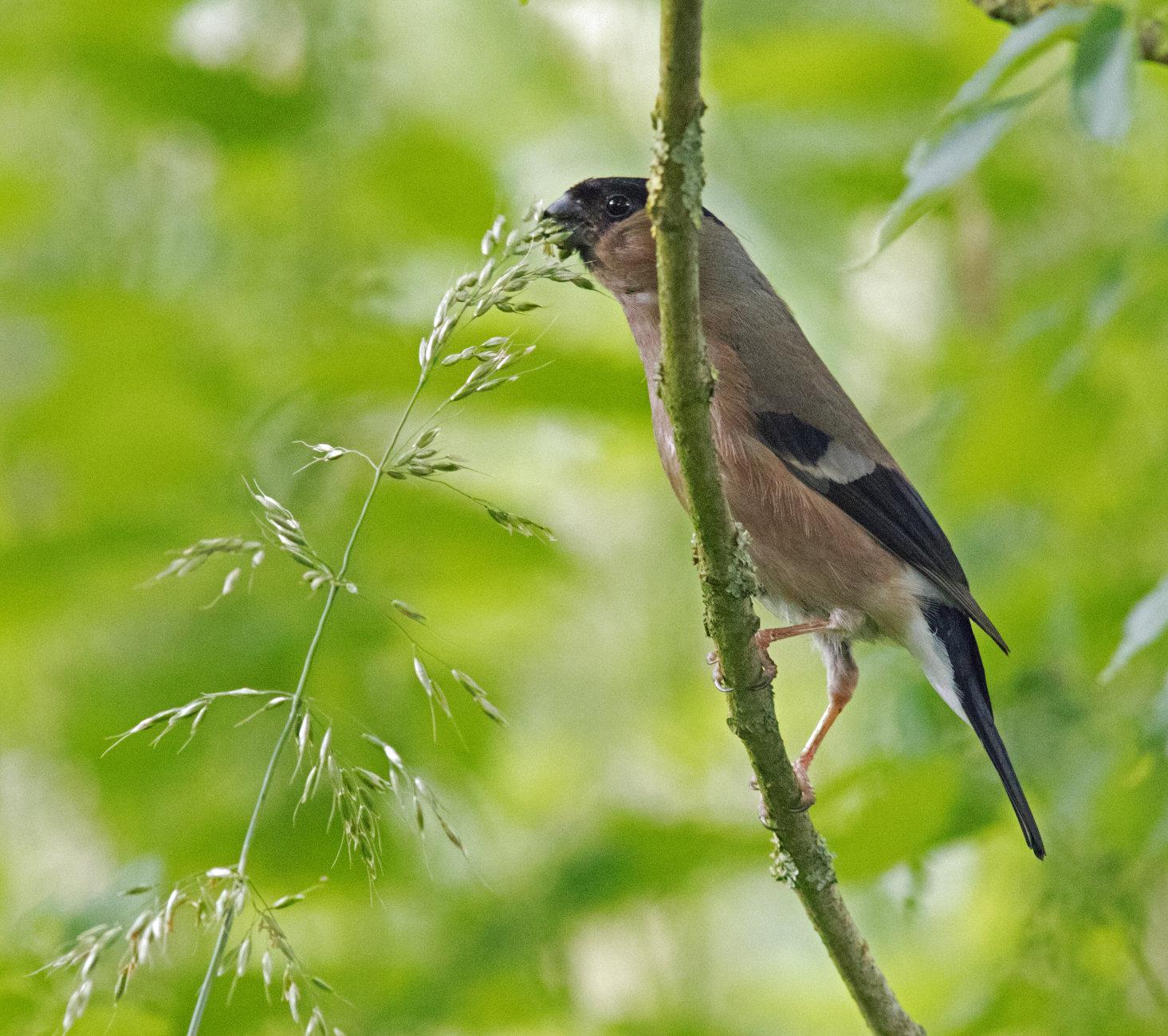 female bullfinch and grass seed