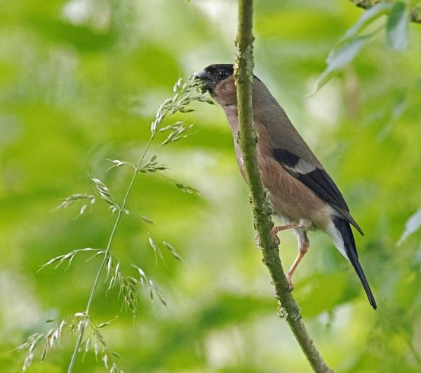 female bullfinch and grass seed by oldgreyheron
