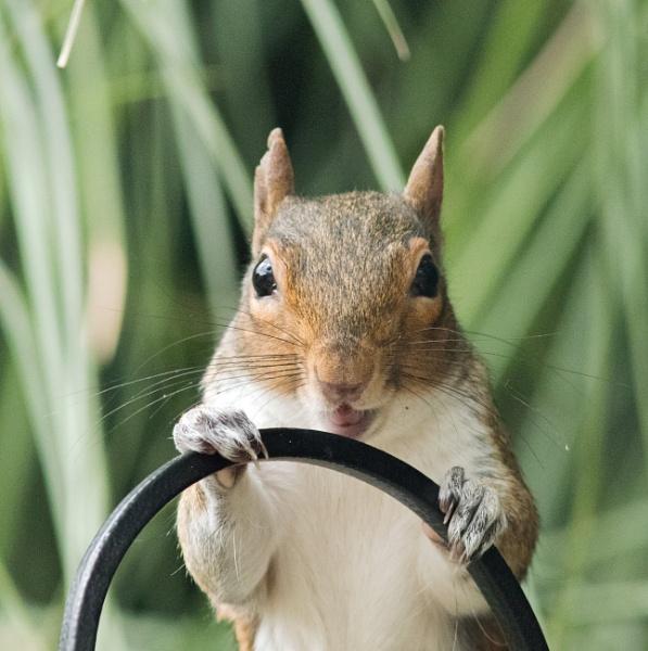 Mad or happy squirrel? by oldgreyheron
