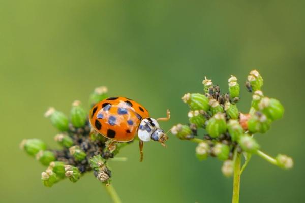 Harlequin Ladybird - Harmonia axyridis by CarolF