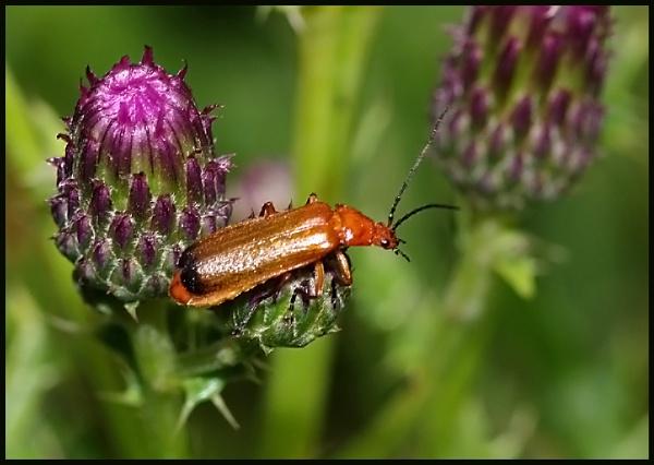 Soldier Beetle - Rhagonycha fulva # by Badgerfred
