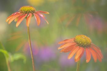 Echinacea Cheyenne spirit