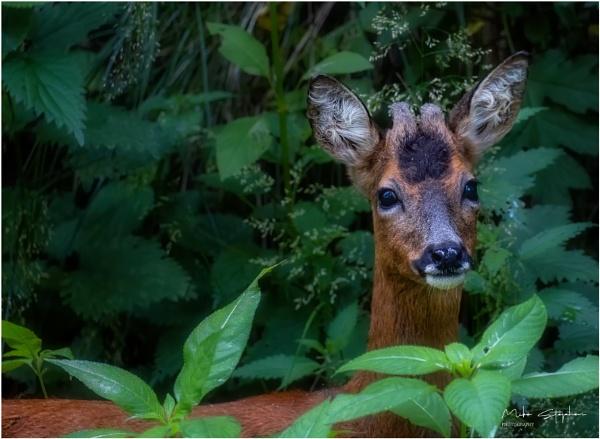 Roe Deer by Mstphoto