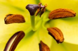 Lily flower closeup