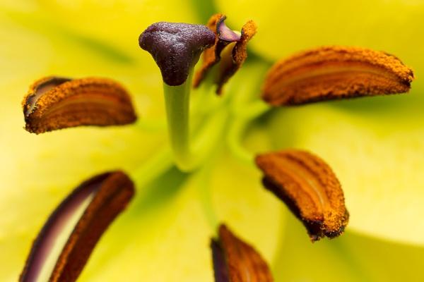 Lily flower closeup by JackAllTog