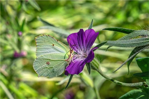 Butterfly by mjparmy
