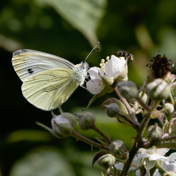 Large White (Pieris brassicae) Butterfly feeding on a Blackberry by Phil_Bird