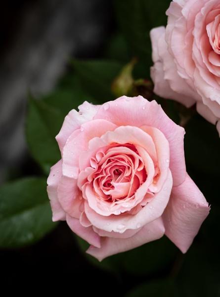 Rose by JonnyWilliams