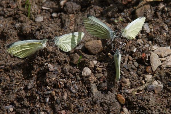 A Rabble of Butterflies by Alan_Baseley
