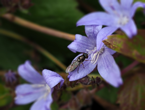 Hoverfly by CaroleS