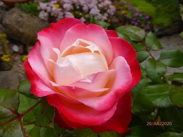 Rose Nostalgia by peterkin