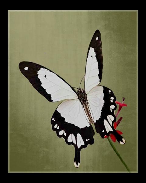 Dancing Wings by sweetpea62