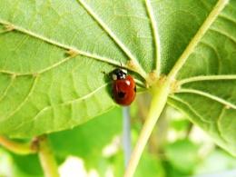 Coccinelles/Ladybirds