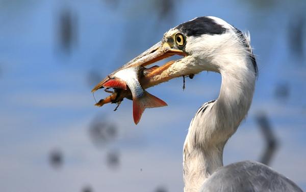 Heron by gary1966
